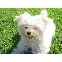 Maltes,malteses Cachorros Minis Para Exigentes Miralos !!!