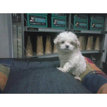 Cachorro Maltes. Her-mo-so!