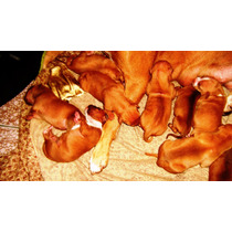 Pitbulls American Red Noise Terrier (cachorros)