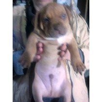 Pitbulls American Red Noise Terrier Cahorros Puros