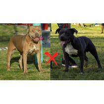 Cachorros Pitbull Blue Nose (reserva)