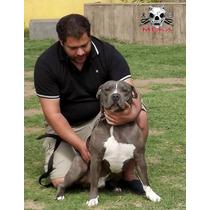 Cachorros Pitbull Blue Argentina Criadero Age Of Meka Abkc