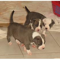 Cachorros Pitbull Disponibles Solo Quedan 4 Machos!!!!!