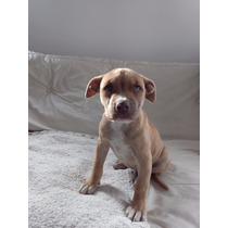 Cachorra American Pit Bull Terrier