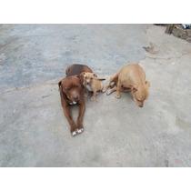Cachorro American Pitbull Terrier