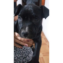 Perro Cachorro Pitbull