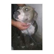Cachorra Pitbull Blue And White