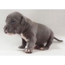 Cachorros Pitbull Blue Chipeados Con Papeles En Fca Hembras