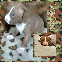 Pit Bull Cachorros Bull Terrier / Red Nose
