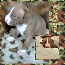 Pit Bull Cachorros Bull Terrier / Red Nose