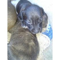 Pitbull Cachorros