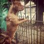 Cachorros Pitbull Americano Padres De Federacion