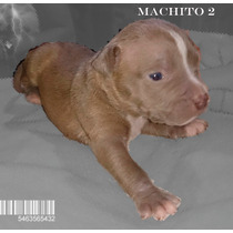 Cachorros Disponible Pit Bull