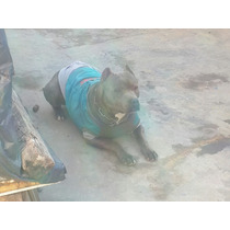 Cachorros Pitbull Blue Nose Hermosos!! Pit Bull Blue Nose