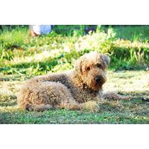 Airedale Terrier Cachorros C/garantia Escrita Pedigree Fca