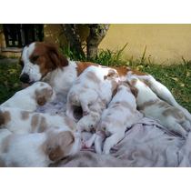 Cachorros Breton Hermosos!