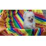 Pomeranias Lulu Hembras $ 20000 Increiblemente Pequenias