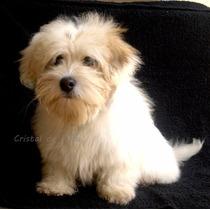Coton De Tulear Cachorros Exclusivos