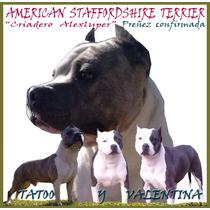 20/10/15 Nacieron Los Mas Lindos American Staffordshire..pit