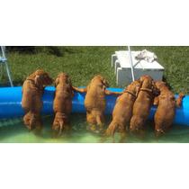 Cachorros Vizsla Braco Húngaro Con Pedigreenuevos