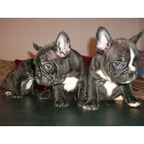 Hembras Bulldog Frances, Las Mejores De Argentina (hermosos)