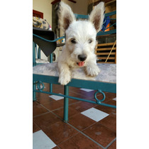 West Higland White Terrier - Cachorros Westy - Westie