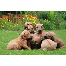Cachorros Rhodesian Ridgeback Listos Para Entregar !!!