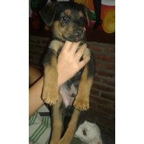 Cachorro Macho Rottweiler