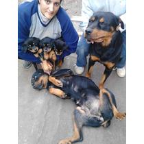 Vendo,3 Ultimas Cachorras Rotwailer Puro Padres A La Vista