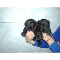 Hermosos Cachorros De Schnauzer Miniatura Negro!!!!