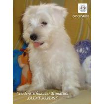 Cachorros Schnauzer Miniatura!! La Mascota Ideal - Machos