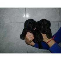 Hermosos Cachorros De Schnauzer Miniatura Negros!!!