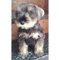 Cachorros Schnauzer Mini Sal Y Pimienta Con Fca