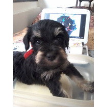 Schnauzer Mini/miniatura Regalo Ideal Del Amigo