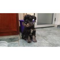 Cachorros Schnauzer Miniatura Negro Y Plata
