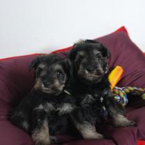 Cachorros Schnauzer Miniatura Con Papeles De Fca