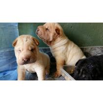 Cachorros De Shar Pei De 35 Días