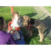 Remato Ultimo Airedale Terrier Machito Con Fca