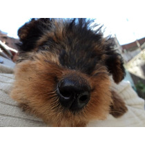 Ultimo Airedale Terrier Machito Al 50% Con Fca
