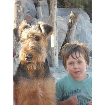 Airedale Terrier, Cachorros Para Entendidos Con Pedigree Fca