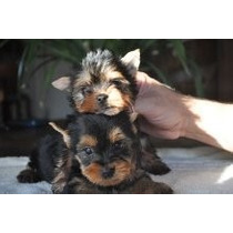 Yorkshire Terrier, Papeles Fca, Miniaturas, Una Joya!! Caba