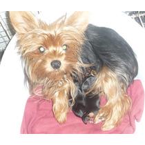 Hermosos Cachorros Machos De Yorkshire Mini Con Fca