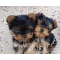 Cachorros Mini Mini Yorkshire Entrega Desde 10 De Julio