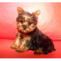 Yorkshire Terrier Solo Machitos!!! Fca