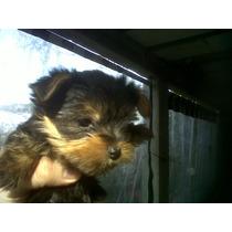 Cachorros Yorshire Machito Mini Mini