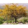 Espinillo - Aromito - Acacia Caven - Árbol Nativo . Autócton