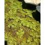 Plantas Acuaticas - Acordeon De Agua