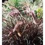Pennisetum Rubrum, Penisetum Rubra Plantas.