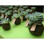 Souvenirs 15 Plantas Mini Kokedama De Suculentas.