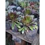 Aeonium Arboreum Atropurpurea. Crasa Suculenta. Maceta N°12